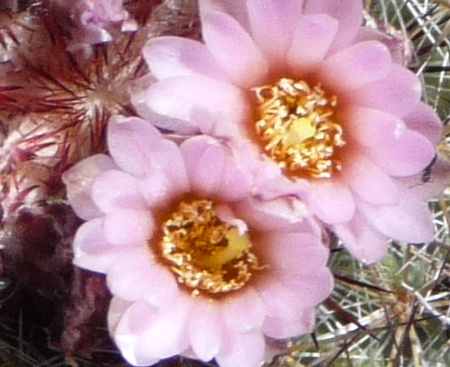 Closeup of cactus flower