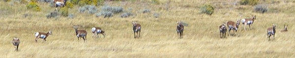 Antelope at Martin's Cove