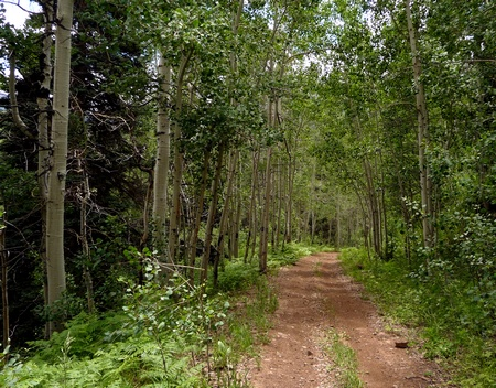 Aspen forms canopy over double-track trail.