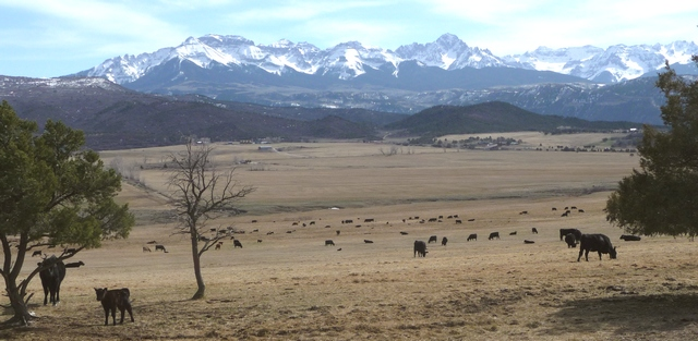 New calves dot the field as the Sneffels Range looks on.