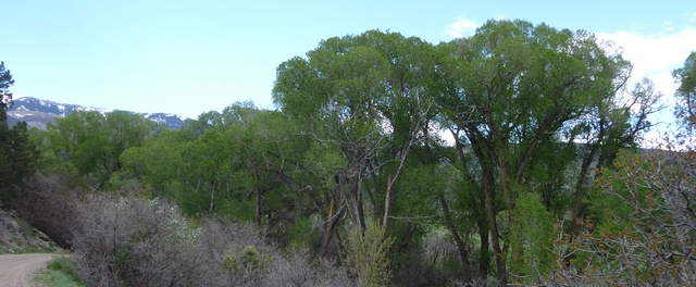 The same trees as above, taken from the other side, now fully leafed out