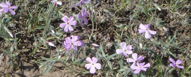 Purple flowers along Ouray County Road 2B