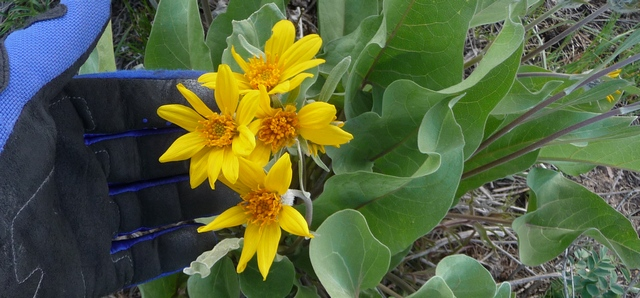 Arrowleaf Balsamroot along Ouray, Colorado, County Road 2B