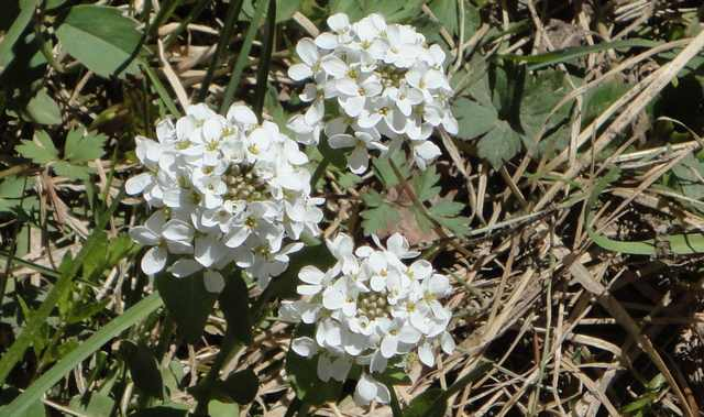 Beautiful white flowers along Ouray County Road 7