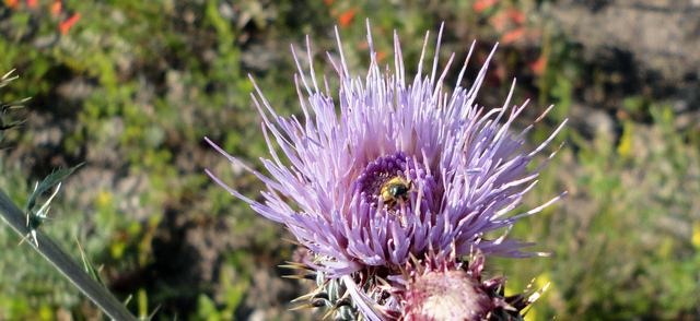 Thistle with bug