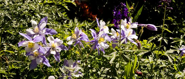 Bevy of Columbines