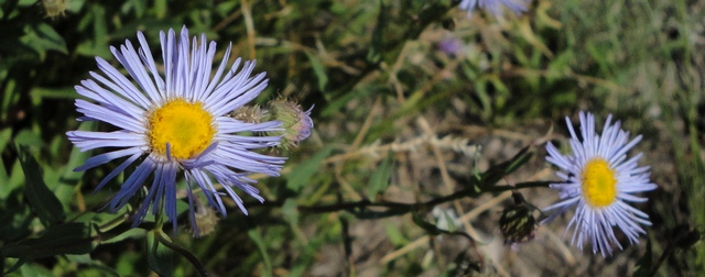 Blue aster along Ouray County Road 4