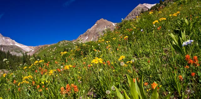 Wildflowers in Yankee Boy Basin