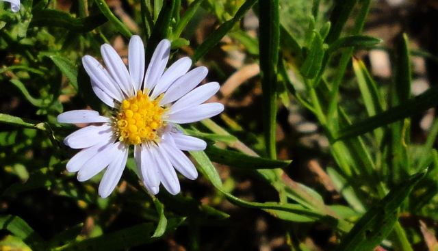 Aster in San Miguel Canyon