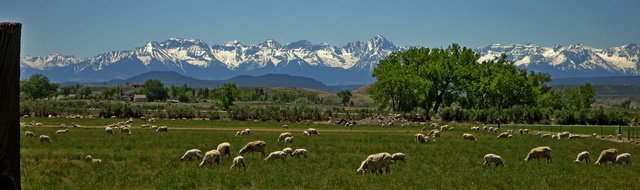 Sheep all over: View from corner of Ogden Road and 6700 Road in Montrose, Colorado