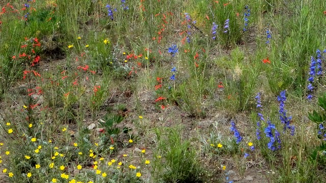 Wildflowers along Ouray, Colorado, County Road 5, including fairy trumpet (the orange ones) and blue bells.