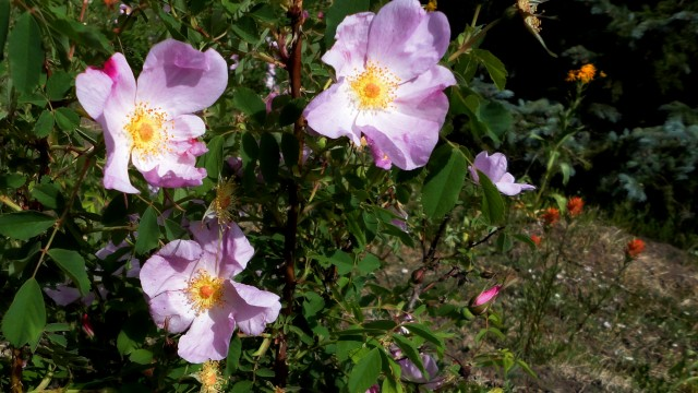 Wild roses in Moonshine Park, off of Ouray, Colorado, CR 5