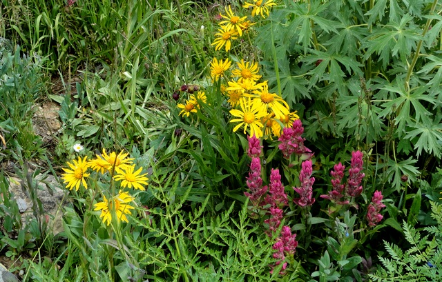 Yankee Boy Basin wildflowers--a glimpse