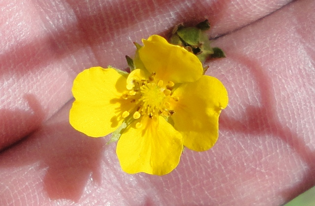 Tiny yellow flower. I didn't pick this one either. I'm holding it between my fingers so the camera will focus properly.